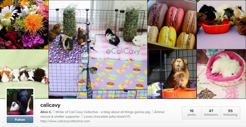 Cali Cavy guinea pig blog Instagram