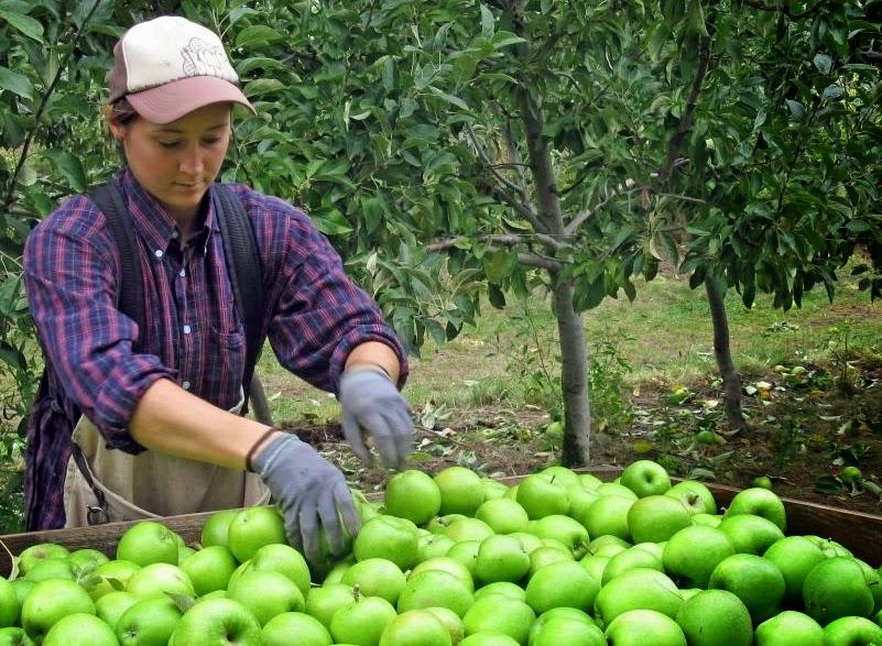 pekerja pemetik apel musiman di australia