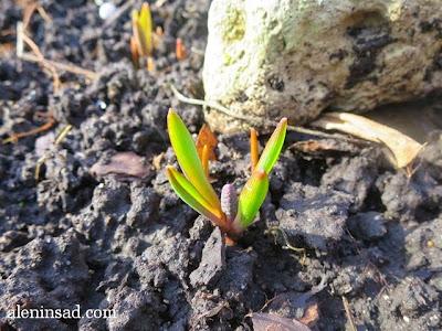 Muscari botryoides, мускари, мышинный гиацинт, гадючий лук, весна, веcной, ростки, черенки, аленин сад, aleninsad