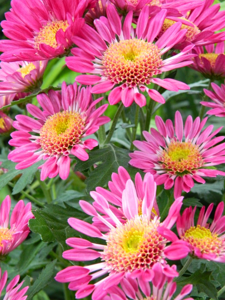 Allan Gardens Conservatory Fall Chrysanthemum Show 2014 pink mum by garden muses-not another Toronto gardening blog