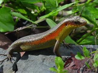 kadal salah satu contoh hewan ovovivipar