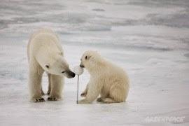 Únete a esta petición para lograr que el Ártico sea declarado por Naciones Unidas santuario global.