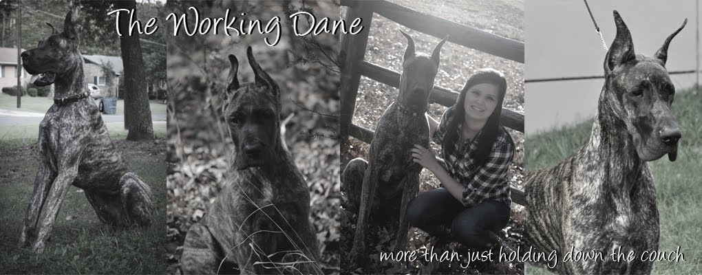 The Working Dane - More Than Holding Down the Couch!