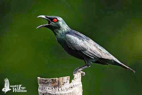 Gambar Cara Merawat Burung Cucak Keling