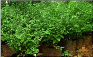 jual pohon teh-tehan | tanaman pagar