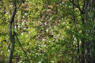 Trillium grandiflorum (Large-flowered Trillium)