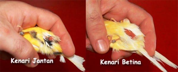 PERAWATAN DAN STELAN BURUNG KENARI MABUNGJenis Burung Kenari