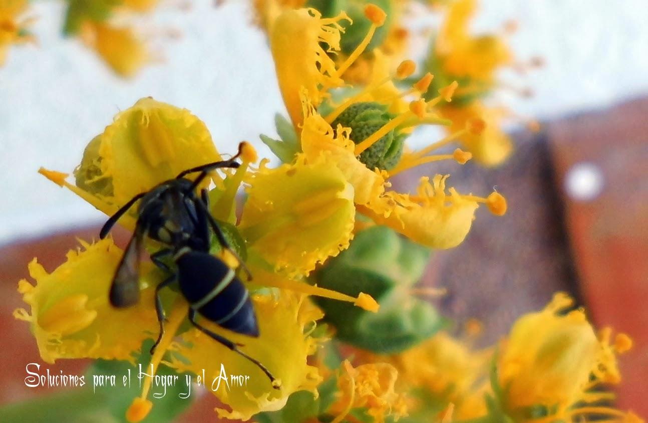 Flores de Ruda con Avispa