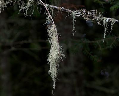 Usnea lichen (Parmeliaceae)
