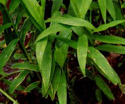 bangle sebagai ramuan herbal untuk mengecilkan perut