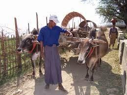ชาวบ้านกับวัวเทียวเกวียนแถวหน้าเจดีย์มิงกุน