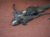 Iguanas In the Sun on Rabida Island's Red Sand Beach
