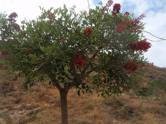 Ceibo erythrina crista galli hora 25 forestal for Vivero el ceibo