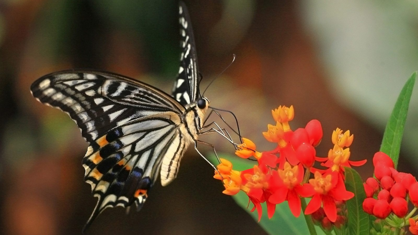 beautiful butterfly hd desktop - photo #32