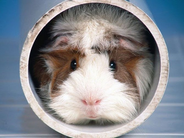 funny animals, guinea pig inside tube