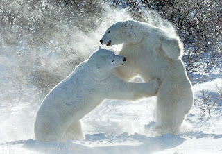 pelea entre osos blancos