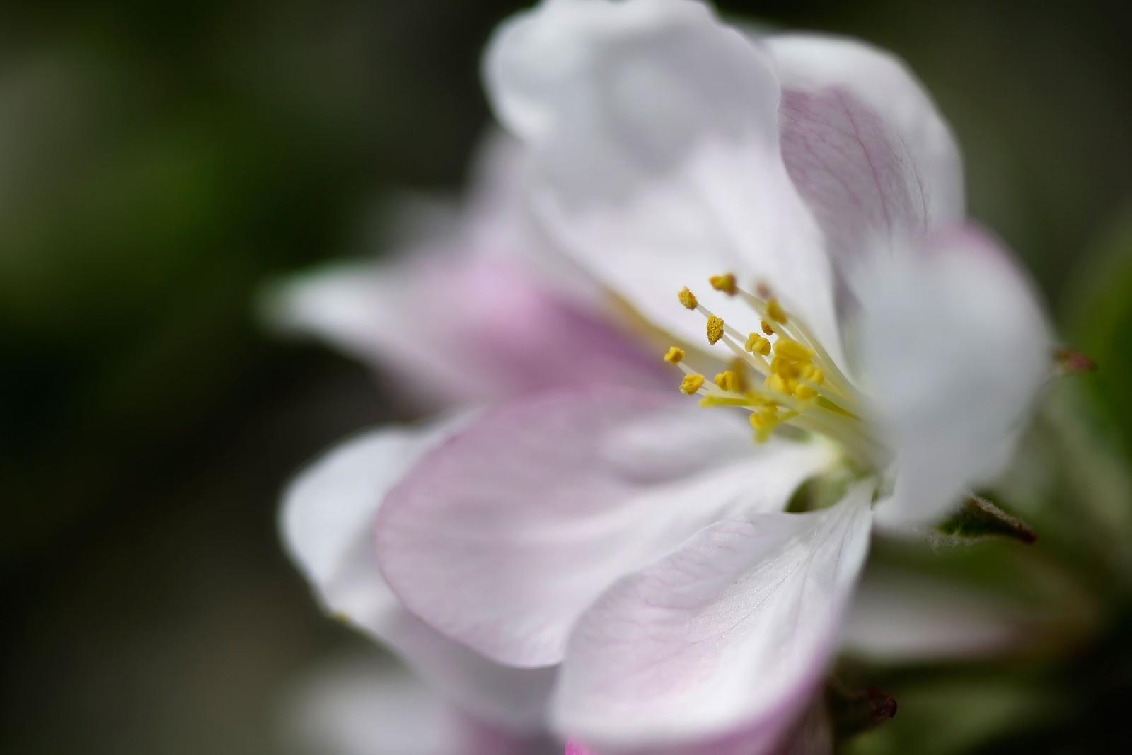 des nouvelles fleurs de pommier souvenirs du printemps. Black Bedroom Furniture Sets. Home Design Ideas