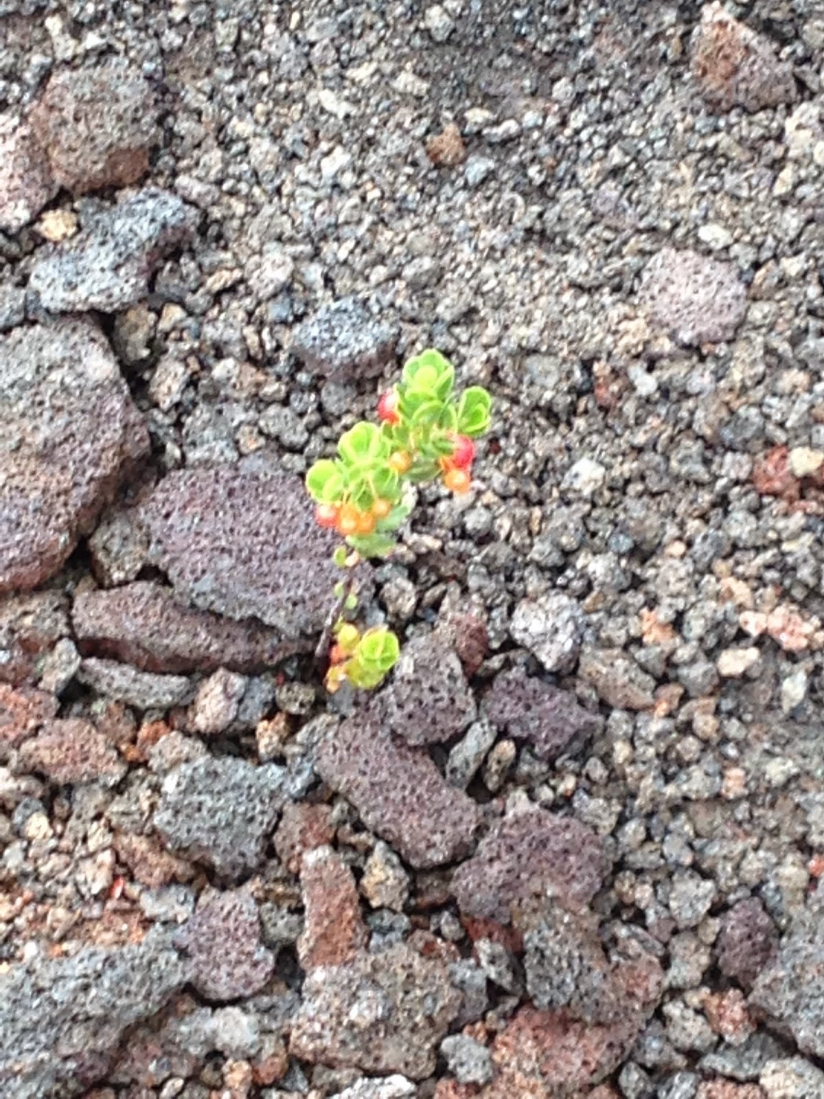 plants inside Kilauea volcano