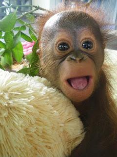 Baby Orangutan International Animal Rescue