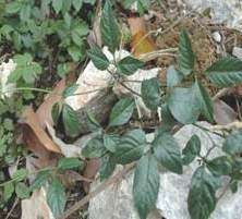 Giảo cổ lam 3 lá - Cổ yếm lá bóng (Gynostemma laxum)