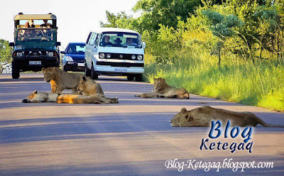 Singa melepak di tengah jalan