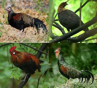 Beternak Ayam Hutan