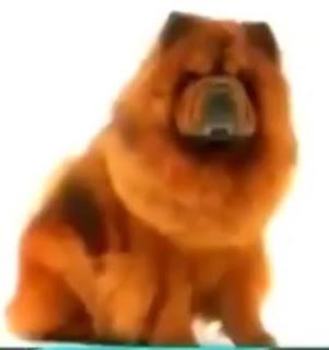 7 - Anjing Chow-Chow