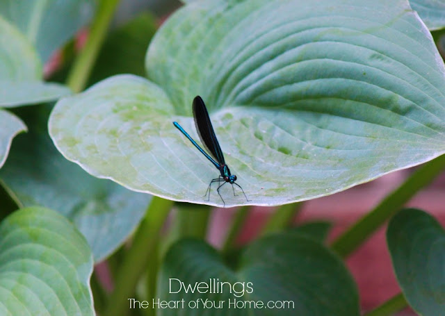 Male Ebony Jewelwing Damselflies