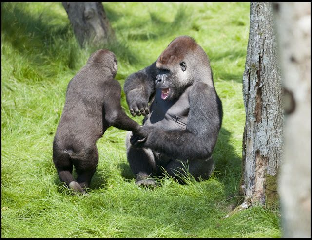 Gorilla brother Alf and Kesho reunited after 3 years apart, gorilla brothers