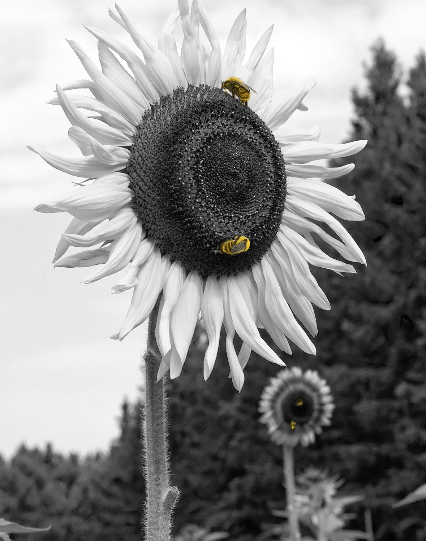 Gambar Bunga Matahari hitam Putih III