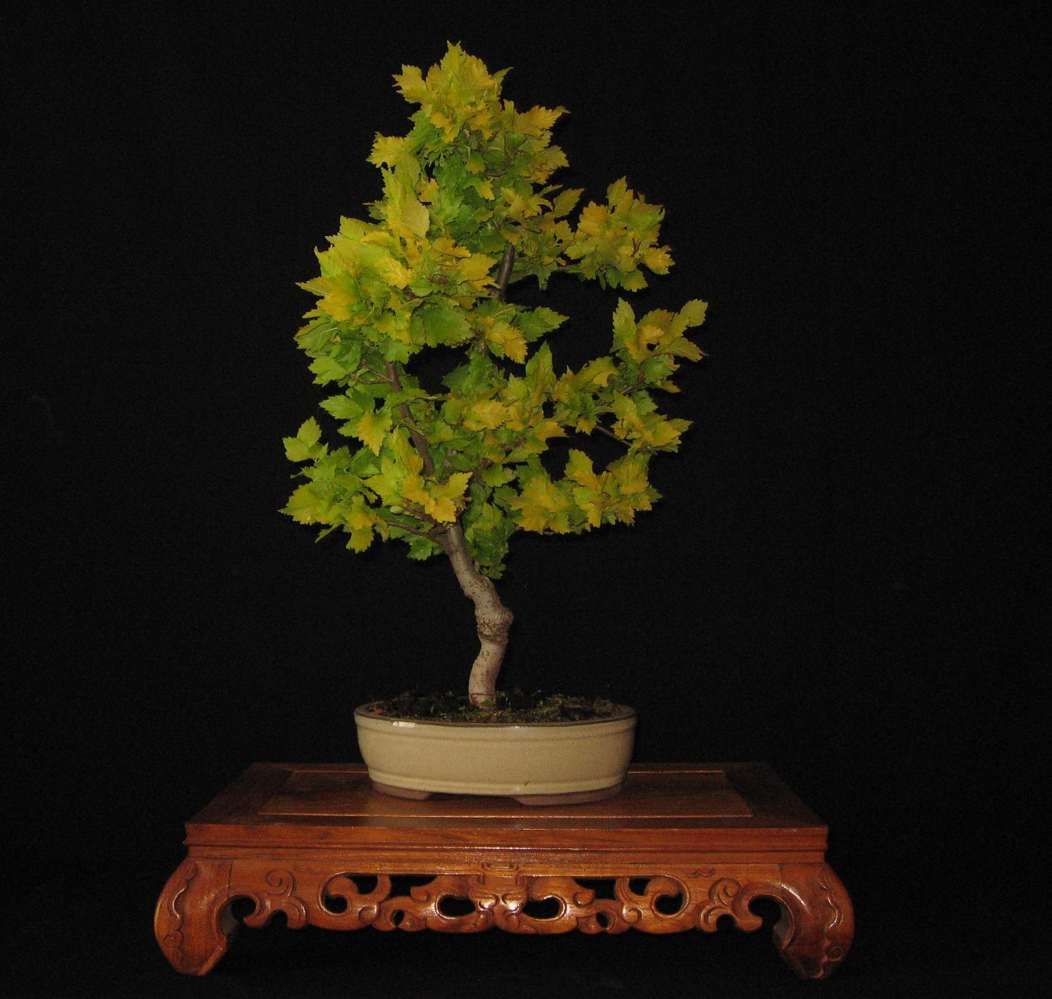 bonsai das sch nste hobby der welt ulmus carpinifolia wredei goldulme. Black Bedroom Furniture Sets. Home Design Ideas