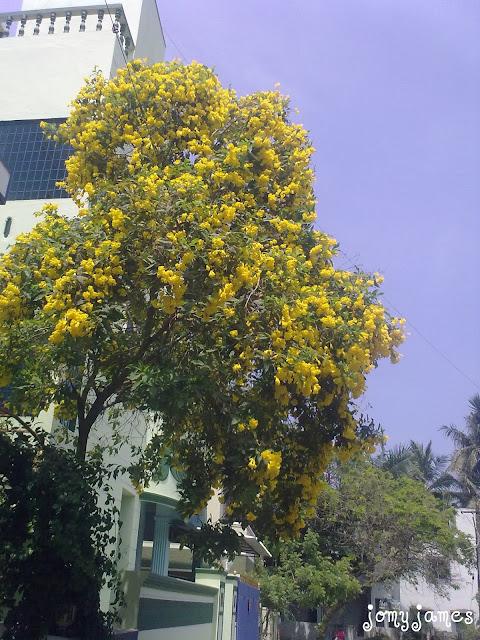Yellow Flowers, Chennai