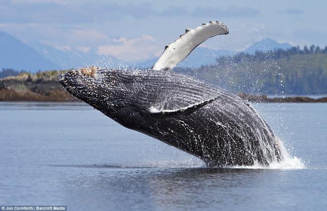 صـــــور مذهـلة للحيتان الحدباء وهي ترقص في مياة المحيط الهادئ في ألاسكا  Humpback%20whales10
