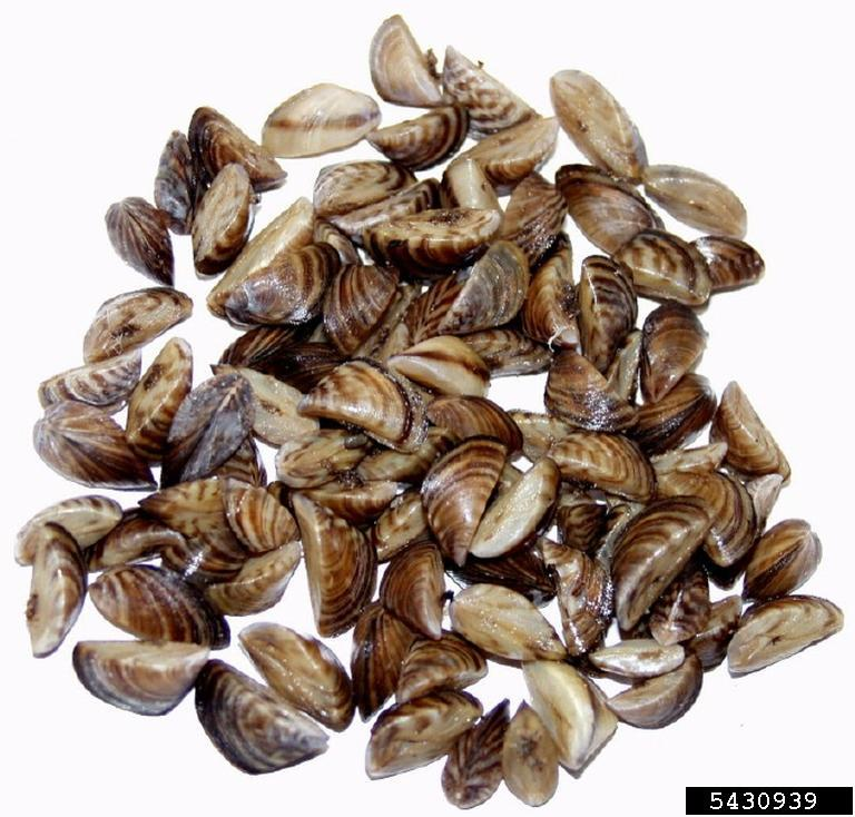 usgs bugwood org zebra mussel and its cousin the quagga