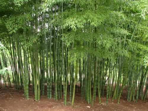 Bamboo Growing1
