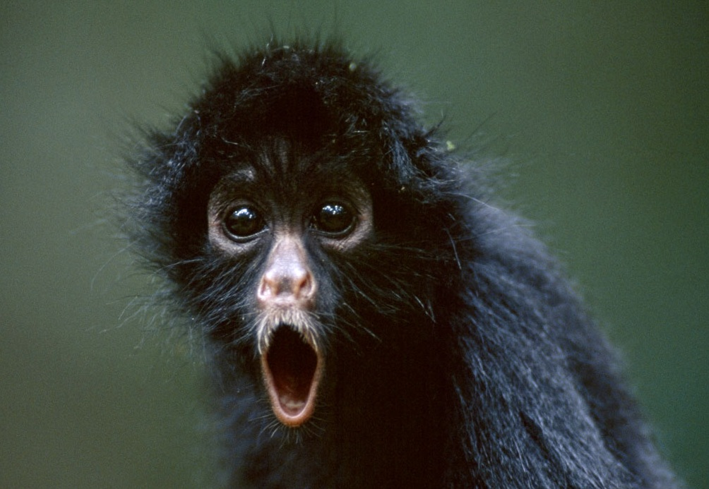 black-spider-monkey.jpg