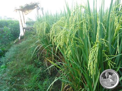 Tanaman padi sudah berbulir hijau, saung sawah pinggir sunga