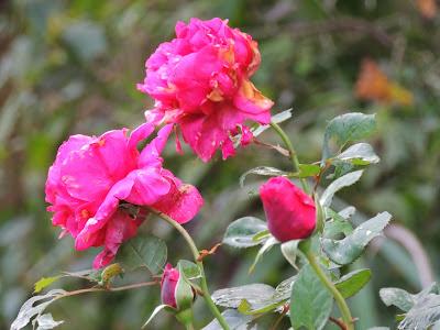 rosier parfume
