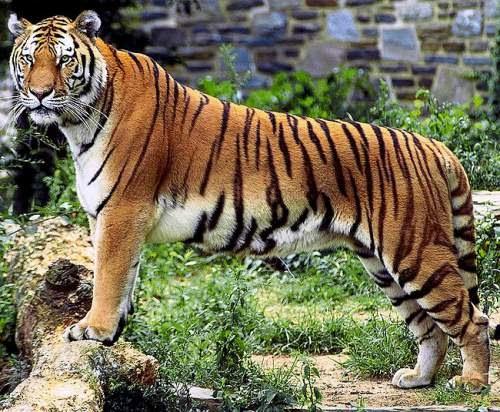 Nepal wildlife - Bengal tiger (Panthera tigris tigris)