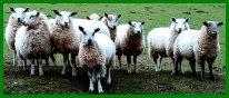 DORSTONE SHEEP