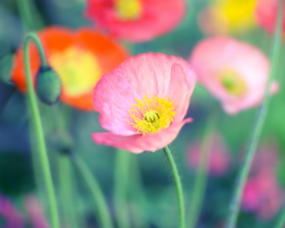 Garden by the sea photography blog by lupen grainne colors of colors of summer poppy flowers mightylinksfo Gallery