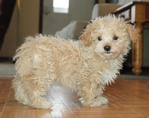 Maltipoo Haircut Pictures Not the actual maltipoos we