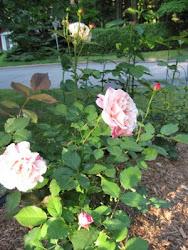 En mémoire de Rose Santerre