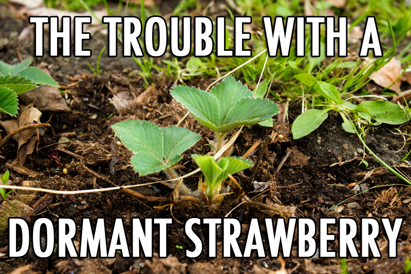 Trouble with a dormant strawberry