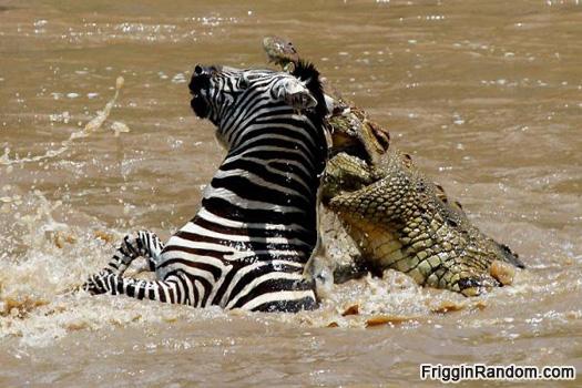 Crocodile Eating Elephant a Crocodile in an Elephant