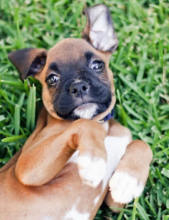 Most Used Boxer Puppy Names