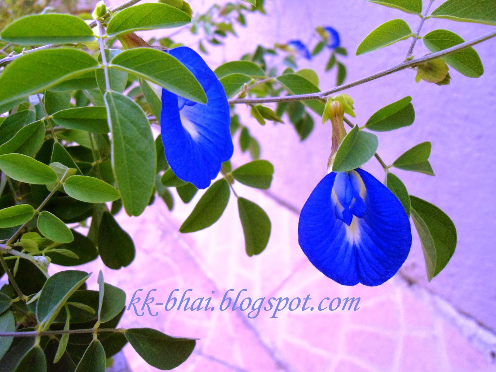 Puja flowers and other things used in puja worship flower of aparajita shankhpushp blus pea butterfly pea or pigeon wings izmirmasajfo