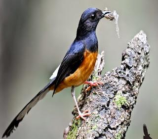 Cara Merawat Burung Murai Batu Hutan Cepat Jinak