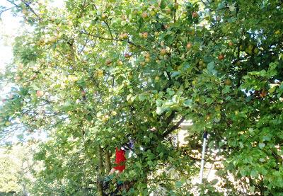 Apple hedge end