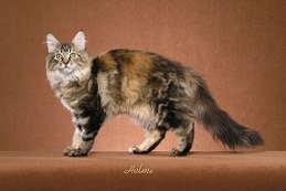 gambar kucing brown classic tortoiseshell tabby